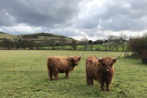 Aberdeen Cows near Greenwich Cottage, Dorset